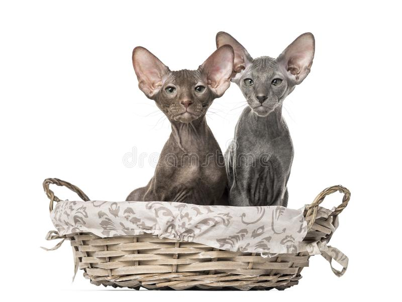 Två peterbaldkattungar som sitter i en vide- korg royaltyfri foto
