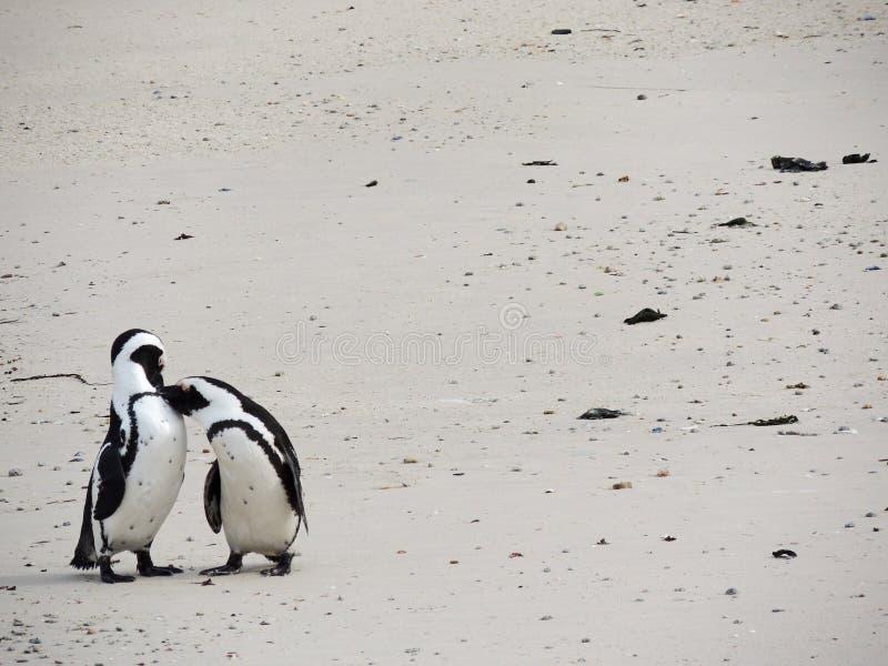 Två pingvin som kysser på stranden arkivbild