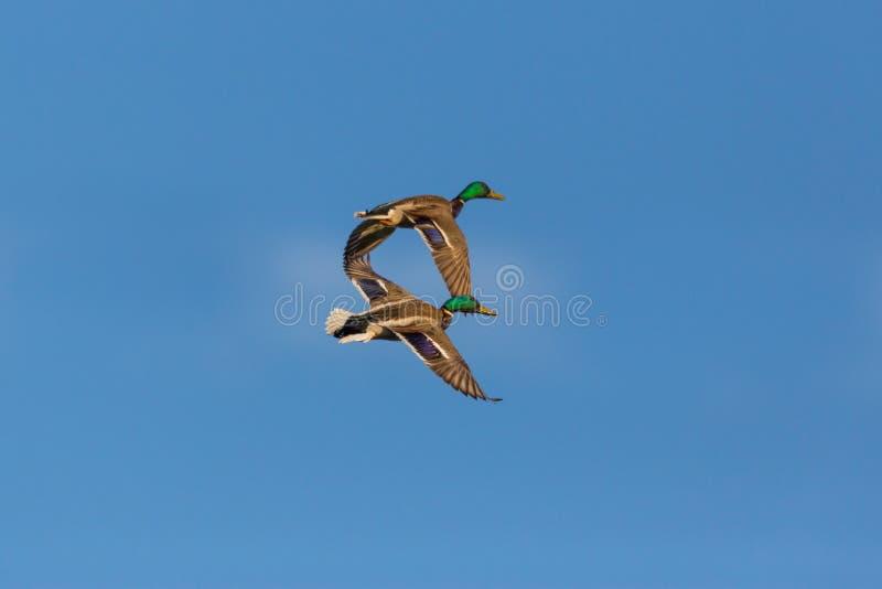 Två platyrhynchos för anas för mangräsandänder som flyger, blå himmel, cl royaltyfri bild