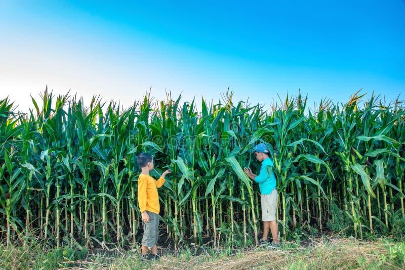 Två pojkar går över fältet med havre arkivfoton