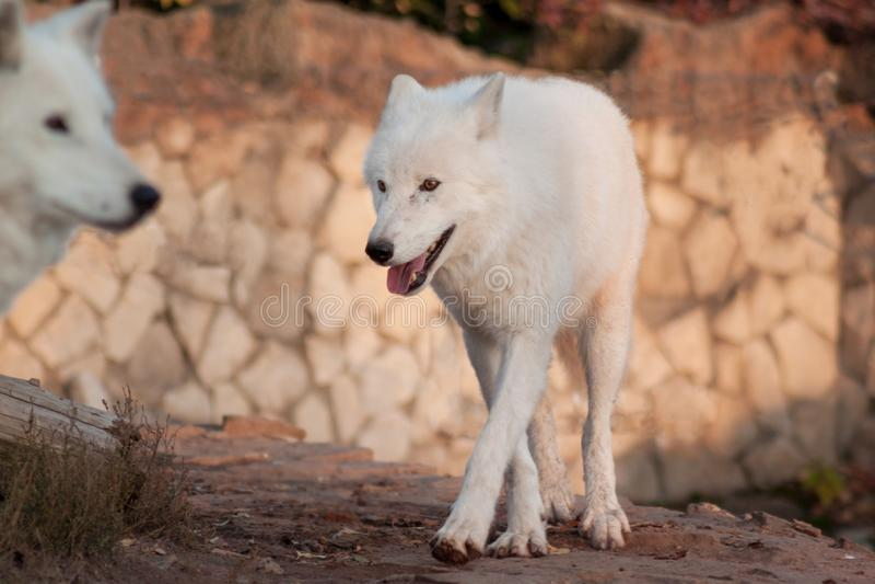 Två polara varger Arctos för Canislupus Alaskabo tundravarg eller vit varg arkivfoto