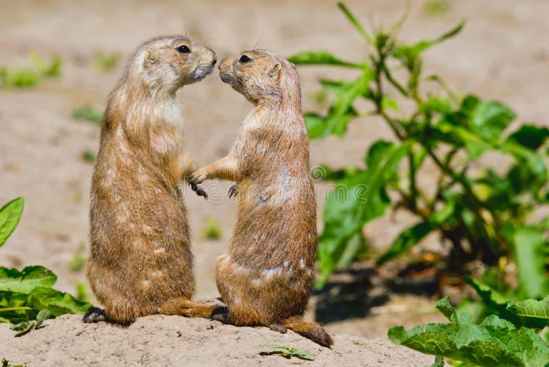 Två präriehundkapplöpning ger sig en kyss royaltyfria bilder