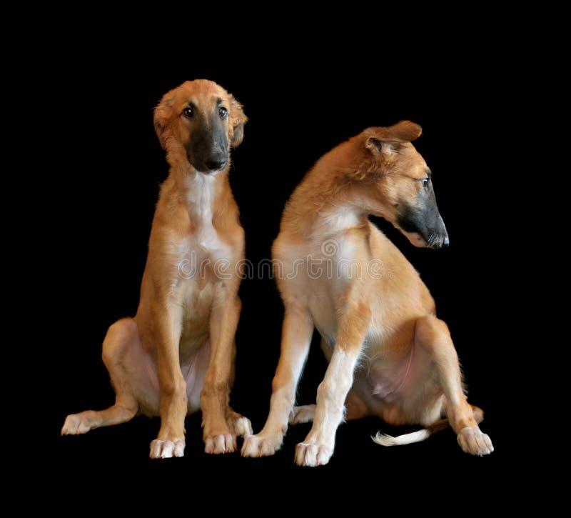 Två puppys av rysk rysk vinthund arkivfoto
