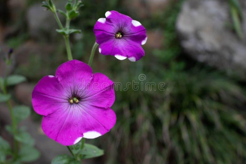 Två purpurfärgade rosa blommor royaltyfria bilder