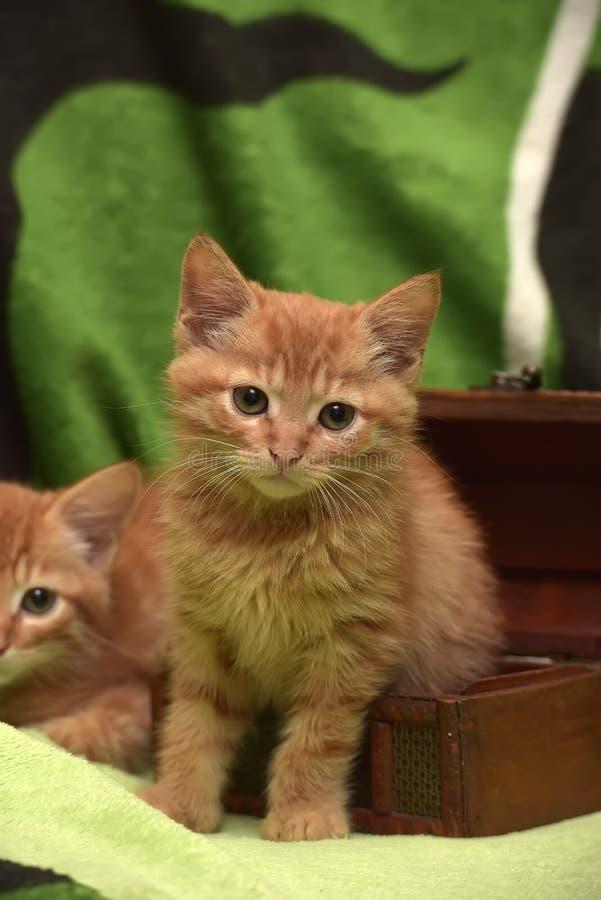 Download Två röd kattunge och ask arkivfoto. Bild av clew, ögon - 76700782