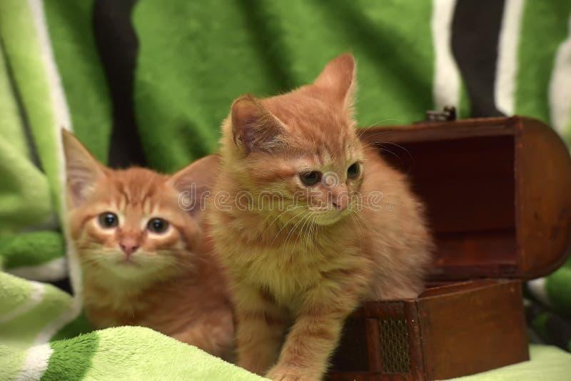 Download Två röd kattunge och ask fotografering för bildbyråer. Bild av pedigree - 76700847