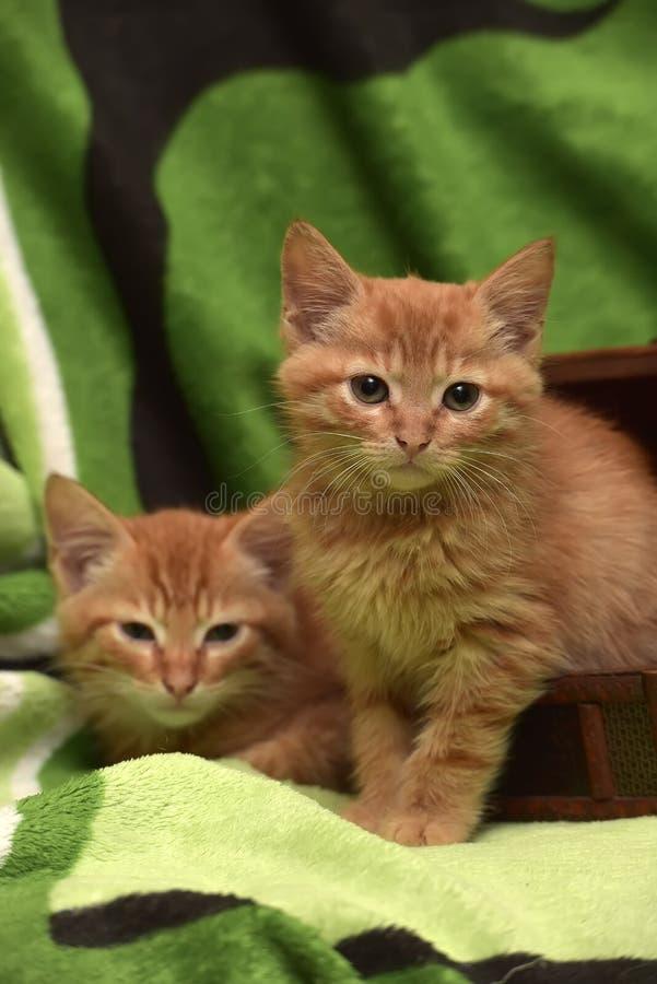 Download Två röd kattunge och ask arkivfoto. Bild av spelrum, vän - 76700862
