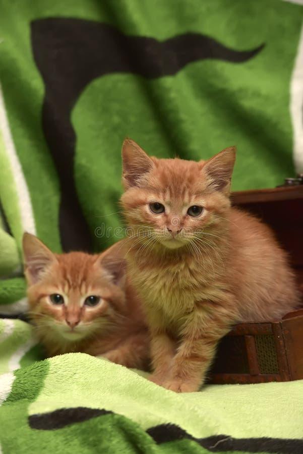 Download Två röd kattunge och ask fotografering för bildbyråer. Bild av däggdjur - 76700971