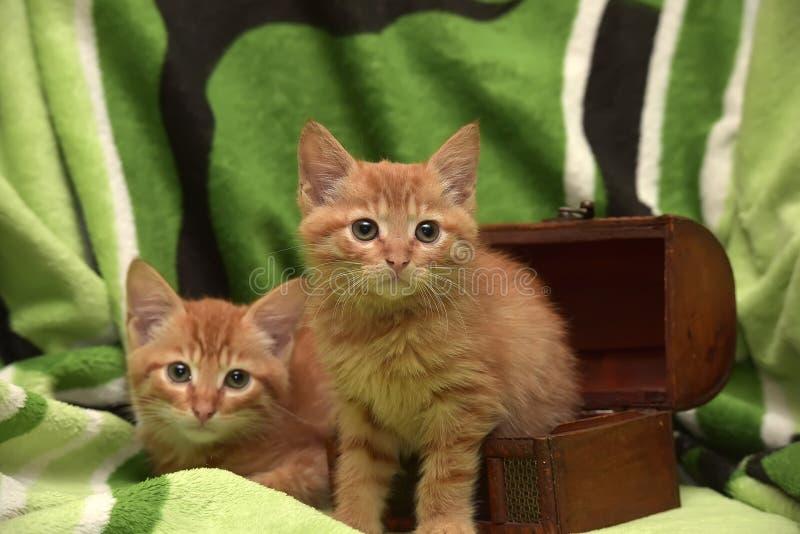 Download Två röd kattunge och ask fotografering för bildbyråer. Bild av close - 76701041