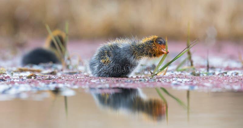 Två Röd-knobbed sothönafågelungar simmar på det tysta vattendammet royaltyfri fotografi