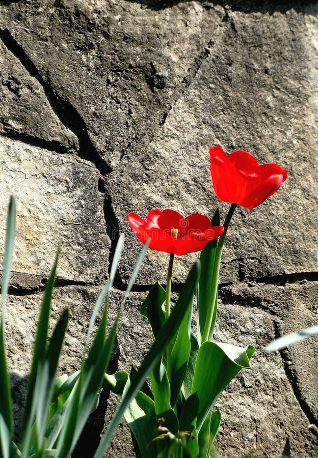 Två röda blommor nära stenbakgrunden royaltyfria foton