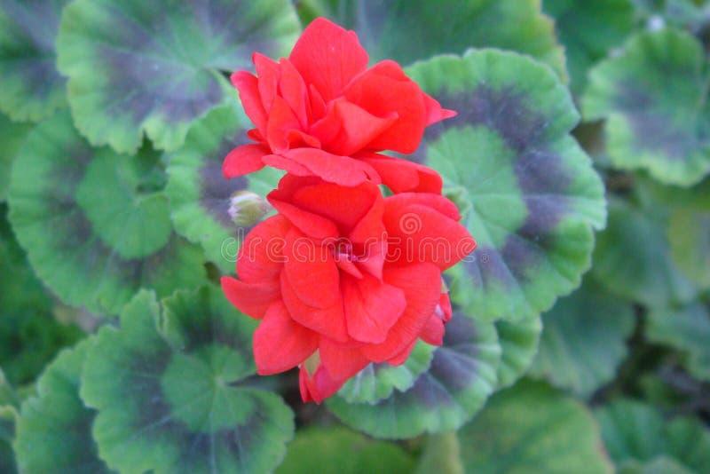 Två röda blommor och gröna modellsidor royaltyfri fotografi