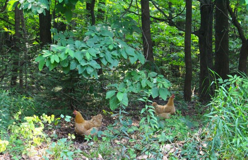 Två röda hönor i skogen arkivfoto
