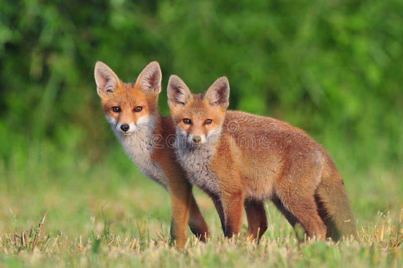 Två röda rävar arkivbild
