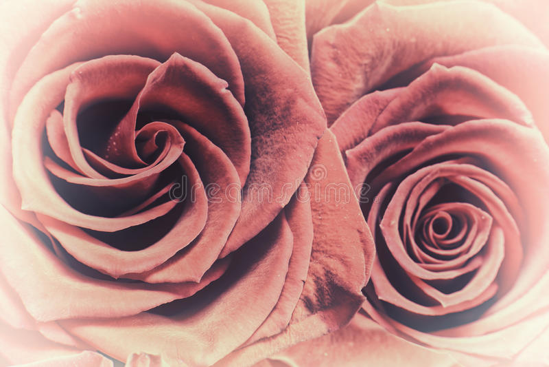 Två röda rosor - nära övre royaltyfri foto