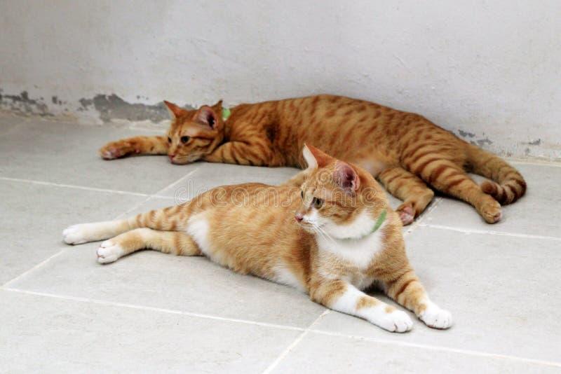 Två röda strimmig kattkatter vilar på ett golv i skyddet för husdjur fotografering för bildbyråer