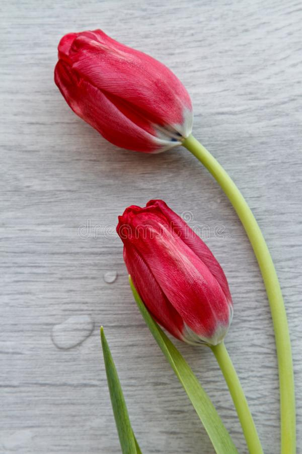 Två röda tulpan på grå bakgrund royaltyfria foton