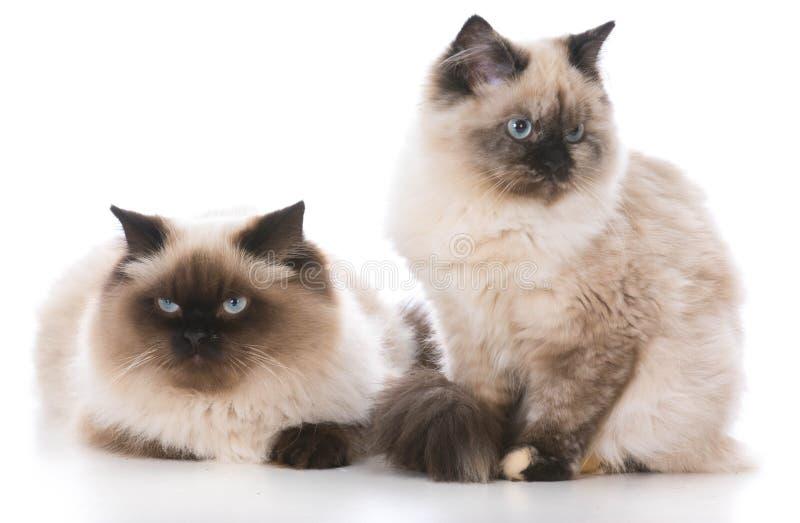 Två Ragdoll kattungar fotografering för bildbyråer