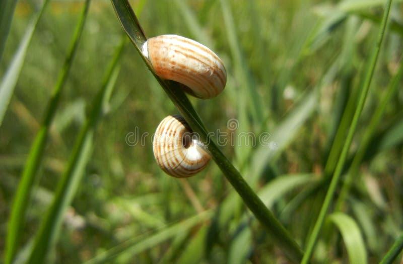 Två randiga sniglar på ett gräsblad royaltyfria foton