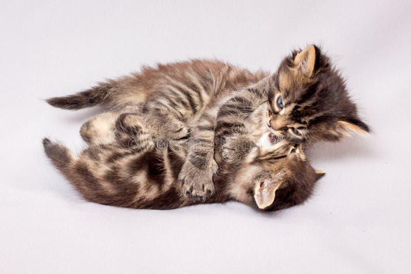 Två rastlösa kattungar spelar Kattungar på en ljus background_ royaltyfri bild
