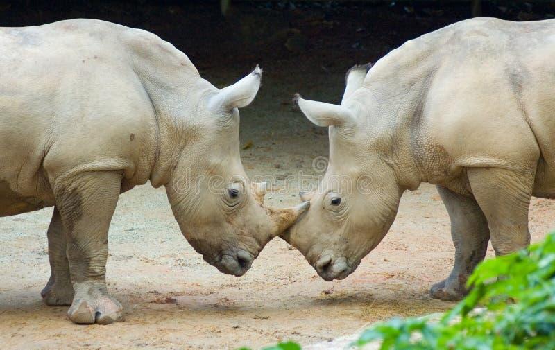 Två rhinos royaltyfri bild