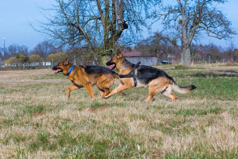 Två rinnande hundkapplöpning för tysk herde royaltyfri fotografi