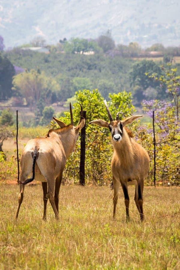 Två Roan Antelopes Fighting med de, Swaziland royaltyfri foto