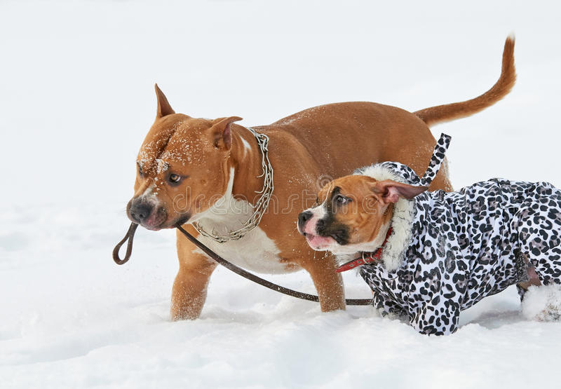 Två roliga amerikanska staffordshire terrierhundkapplöpning som kör i vinterna royaltyfri bild