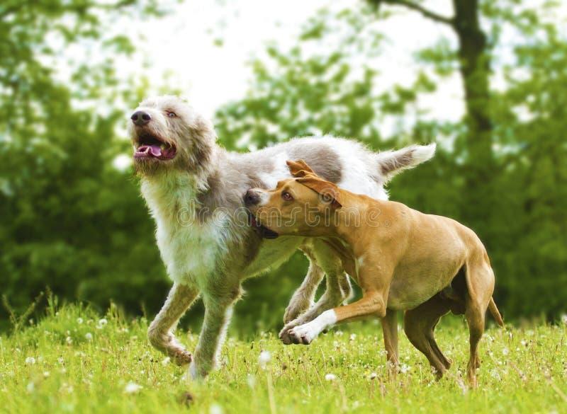 Två roliga hundkapplöpning på lek royaltyfri foto