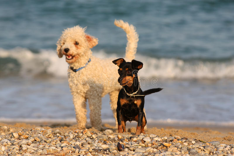 Två roliga hundkapplöpning på stranden royaltyfri fotografi