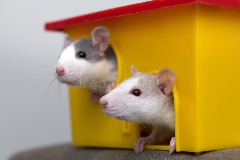 Två roliga vita och gråa tama nyfikna mouseshamstrar med skinande ögon som ser från ljust gult burfönster Hålla husdjurvänner arkivfoton