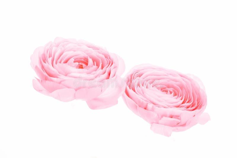 Två rosa kulör isolerad pion- eller smörblommablomma royaltyfria foton