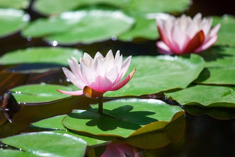 Två rosa näckrosblommor blomstrar på grönt sidabakgrundsslut upp, härliga purpurfärgade liljor i blom på dammet, lotusblommablomm arkivbilder