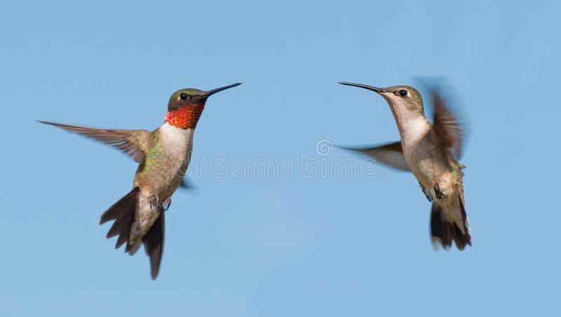 Två Rubin-throated kolibrier, en man och kvinnlig som flyger royaltyfria bilder