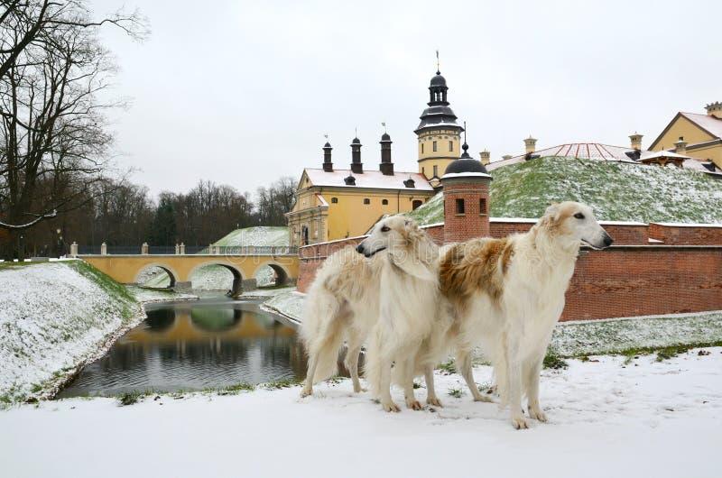 Två rysk vinthundhundkapplöpning i vinter parkerar arkivfoto