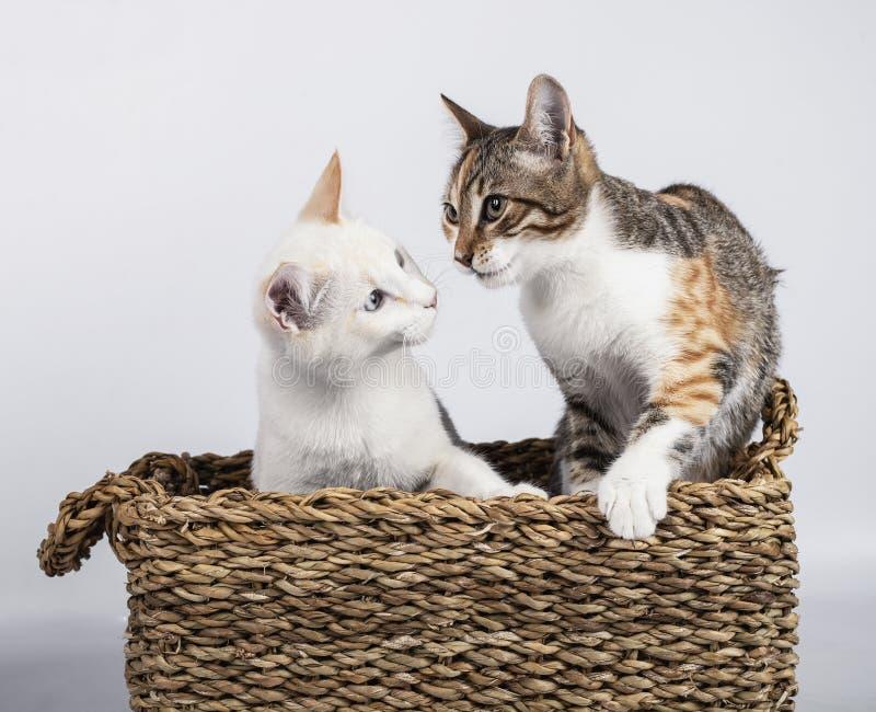 Två söta unga kattungar som sitter i en korgkorg på vit bakgrund royaltyfri foto
