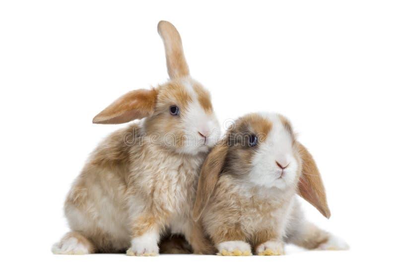 Två satängMini Lop kaniner bredvid de, isolerat royaltyfri bild