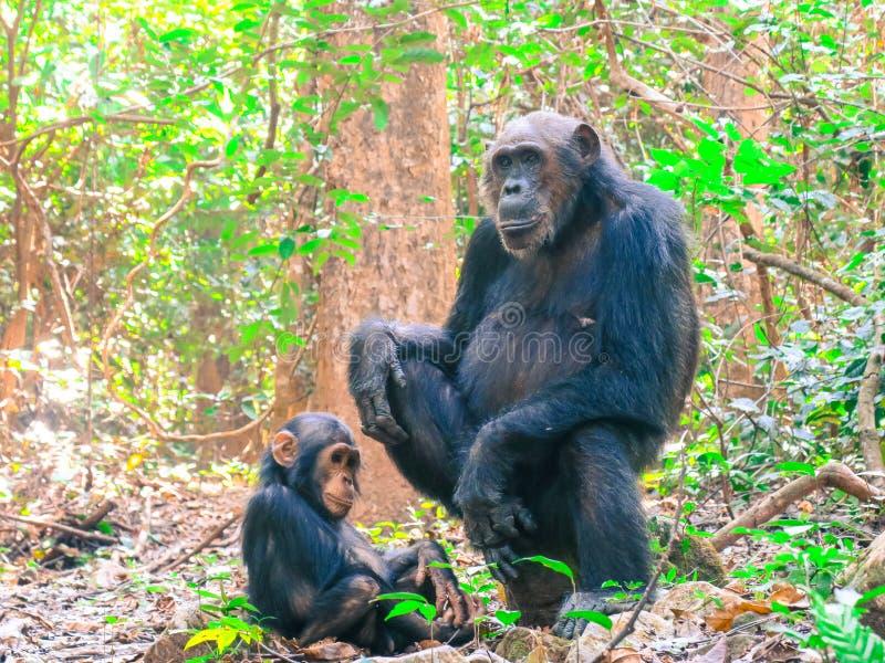 Två schimpanser som sitter i skog på den Gombe nationalparken arkivbilder