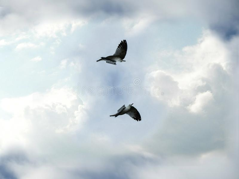 Två Seagullfåglar som flyger och virvlar runt i den molniga blåa himlen royaltyfri foto