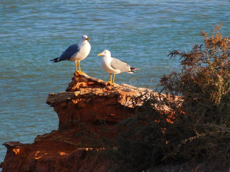 Två seagulls på ett hav vaggar royaltyfria bilder