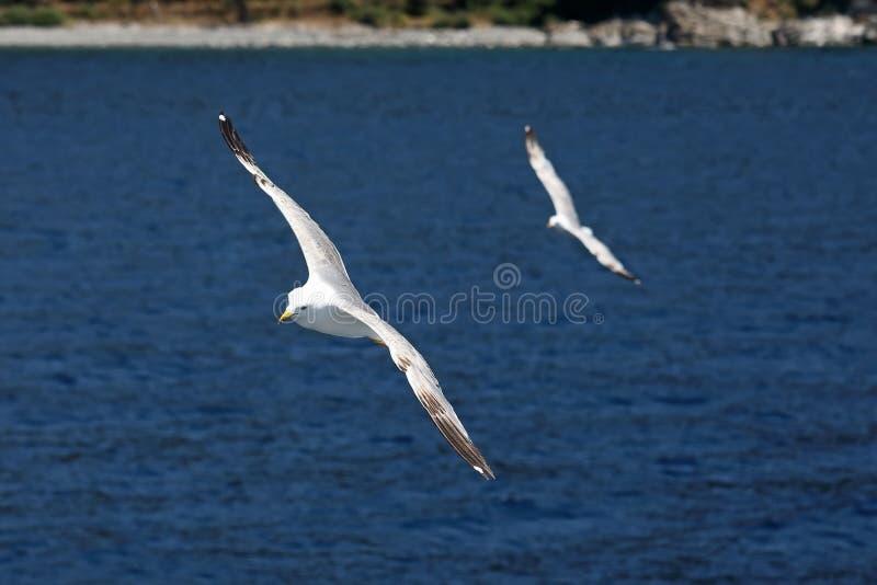 två seagulls som flyger på havet arkivfoton