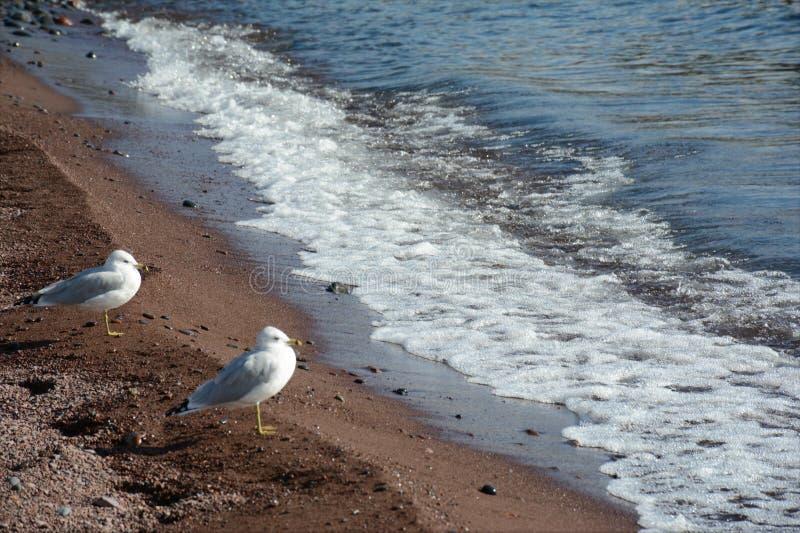 Två Seagulls som står på sjökusten royaltyfria foton
