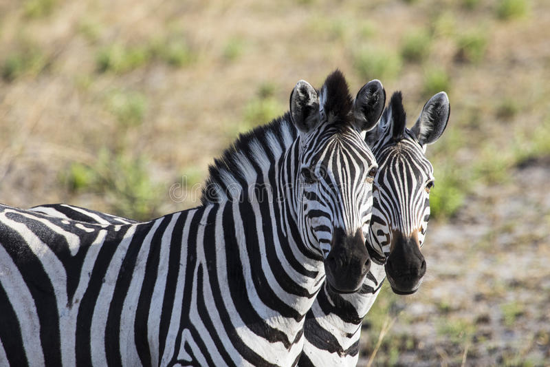Två sebror sid - förbi - sid i Botswana arkivbild
