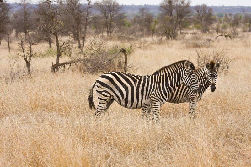 Två sebror som går i busken, Kruger nationalpark, Sydafrika arkivbild