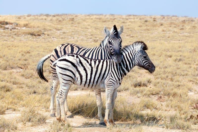 Två sebror står bredvid de closeupen i savann, safari i den Etosha nationalparken, Namibia, sydliga Afrika royaltyfri fotografi