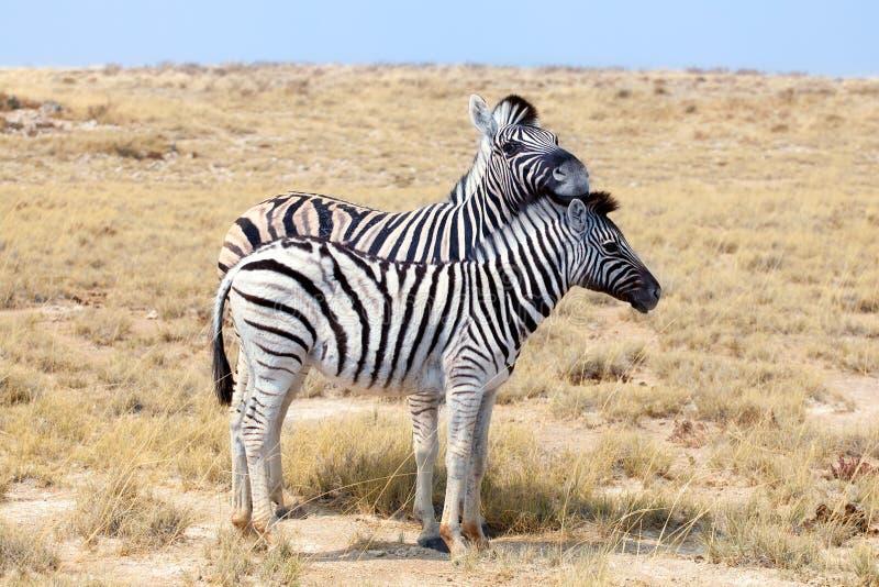 Två sebror står bredvid de closeupen i savann, safari i den Etosha nationalparken, Namibia, sydliga Afrika royaltyfri foto