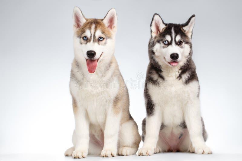 Två Siberian Husky Puppy på vit royaltyfria bilder