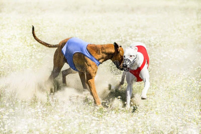 Två Sighthounds på ett fullföljande av drag som jagar konkurrens fotografering för bildbyråer
