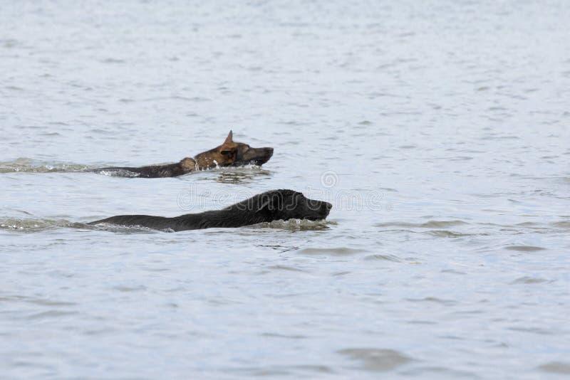 Två simma Tysklandsheepdogs royaltyfria bilder