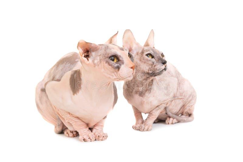 Två sittande fullblods- sfinxkatter royaltyfri foto